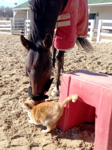 Bootsie- Terrible barn cat, great house pet!